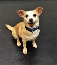 You won't see a cuter pair of ears than those on our dog of the week Logan. You won't see a cuter underbite than his. And you most definitely won't meet a cuter personality! This nine-year-old Jack Russell Terrier/Chihuahua mix has oodles upon oodles of personality.