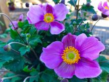 The one plant in my garden that speaks fall to me is the Japanese Anemone. It is easy to grow and a reliable bloomer that is happy in partial shade or full sun, provided you don't let it dry out. The plant itself will reach three feet tall by September and will bloom for almost two months, starting as early as mid-August.