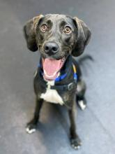 Our dog of the week Marty McFly is looking to go into the future with you! This 18 month old Plott Hound is full of pizzazz and personality. He smiles big and his joy for life and adventure is even bigger.Marty is loads of fun and hoping he can find a family that's as active as he is.