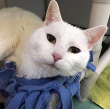 As soft and white as a cloud, our cat of the week Nimbus is here waiting for her forever family. At seven years old, Nimbus is the perfect age for play time in the afternoon and cozy snuggles as day turns to night. Come meet Nimbus today and see what it's like to touch a cloud!