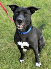Our dog of the week Oreo is a high-spirited eleven-month-old lab mix waiting for her new family to come whisk her away to a life of adventure and fun. Hiking, running, playing, exploring…this girl is up for it all!