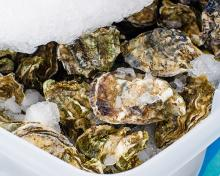 Each year, the Department of Health receives reports of vibriosis illnesses from people who ate raw or undercooked oysters they collected themselves. Found naturally in the environment, Vibrio parahaemolyticus bacteria grows quickly in warm temperatures.