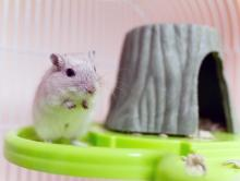 Meet our pet of the week Macaroni, an adorable, teeny-tiny six-month-old male gerbil. This little boy is full of life and energy! Macaroni is an active boy who loves exploring his surroundings and making sure his personal spinning wheel is in working order.