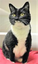 As sweet as her namesake, this 11-year-old kitty with the milk mustache is ready to add a bunch of delicious to your life. Our cat of the week Puddin is affectionate, loving, and fun to be around. She enjoys chatting about her day and then falling fast asleep in your lap.