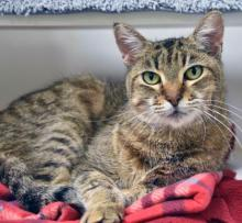 At about 12 years young our darling cat of the week Rosie is ready to add her magic to your life. She's the perfect mix of affectionate and spunky. When she's not keeping your lap warm, she's playing with toys and will put her athleticism on full display.