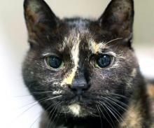 Our cat of the week Sweetie Pie is perfectly named! This incredibly sweet gal is ready to add a lot of love and affection to your life. At 12 years old, Sweetie Pie knows the value of lap time and is not afraid to show it. She will happily spend hours curled up in your lap purring away.