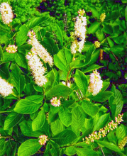 Clethra alnifolia. Photo credit: W. John Hayden, Virginia Native Plant Society.