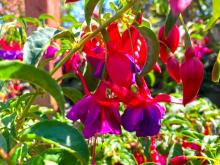 If you are looking for a perennial that will bloom from June until frost, will tolerate full sun or part shade, comes back every spring (unless Mother Nature is really nasty to us) and makes a wonderful companion to so many other plants, then what you need is a hardy fuchsia!