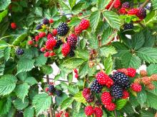 There's nothing like a fresh bowl of strawberries, blueberries, raspberries or blackberries straight out of the garden, and now is the time to plant them! All of these berries are well suited for growing in the northwest and are readily available from garden centers this time of year.
