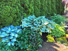 One of the many things I love about spring is the re-emergence of my favorite perennials. It is so satisfying to see them come back fresh, blemish free and often twice the size of the previous year. Nothing brings on this warm, fuzzy feeling more than the return of my hostas.