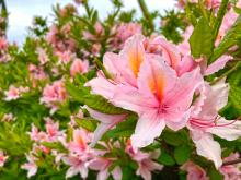Most of the time when gardeners talk about azaleas we think of evergreen foliage. But there is a whole other exciting group of azaleas, that while they lose their leaves in winter, have incredible hot yellow, orange, salmon, or red flowers in spring and great fall foliage color in the autumn.