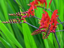 It is always hard for me to focus in on one variety of plant this time of year. But this little treatise is going to zoom in on the genus Crocosmia - mostly because they are coming into full bloom now and there isn't a day that goes by that someone doesn't come into the store with a sample and want to know what it is.