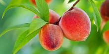 Growing fruit trees in our own backyards can be lots of fun and nutritionally rewarding.  It does, however, take some time and effort to be successful and a willingness to accept less than perfect produce. If you have any interest in growing your own fruit, then these next two months are prime time to take action.