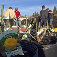 It was a beautiful day to pot up some roses. Photo courtesy of Sunnyside Nursery.