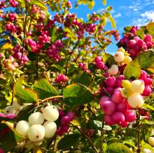 """Snowberries; """"Galaxy"""" is the white, and """"Candy"""" is the pink. Photo courtesy of Sunnyside Nursery."""