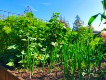 Whatever your reason is for feeling moved to plant a vegetable garden in these times of turmoil, it's a good idea. It is good to get out in the fresh air, get some exercise and any time spent in the garden can be therapeutic.All it takes is some effort and a few tips will help too.